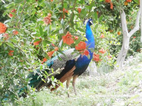 paon dans les jardins du château de Livet