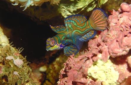 Un poisson mandarin