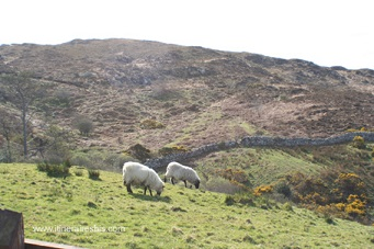 Moutons dans le parc du Connemara